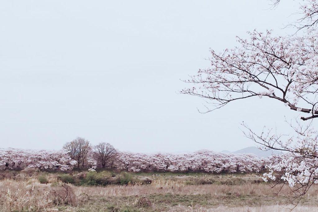 京都八幡桜の名所