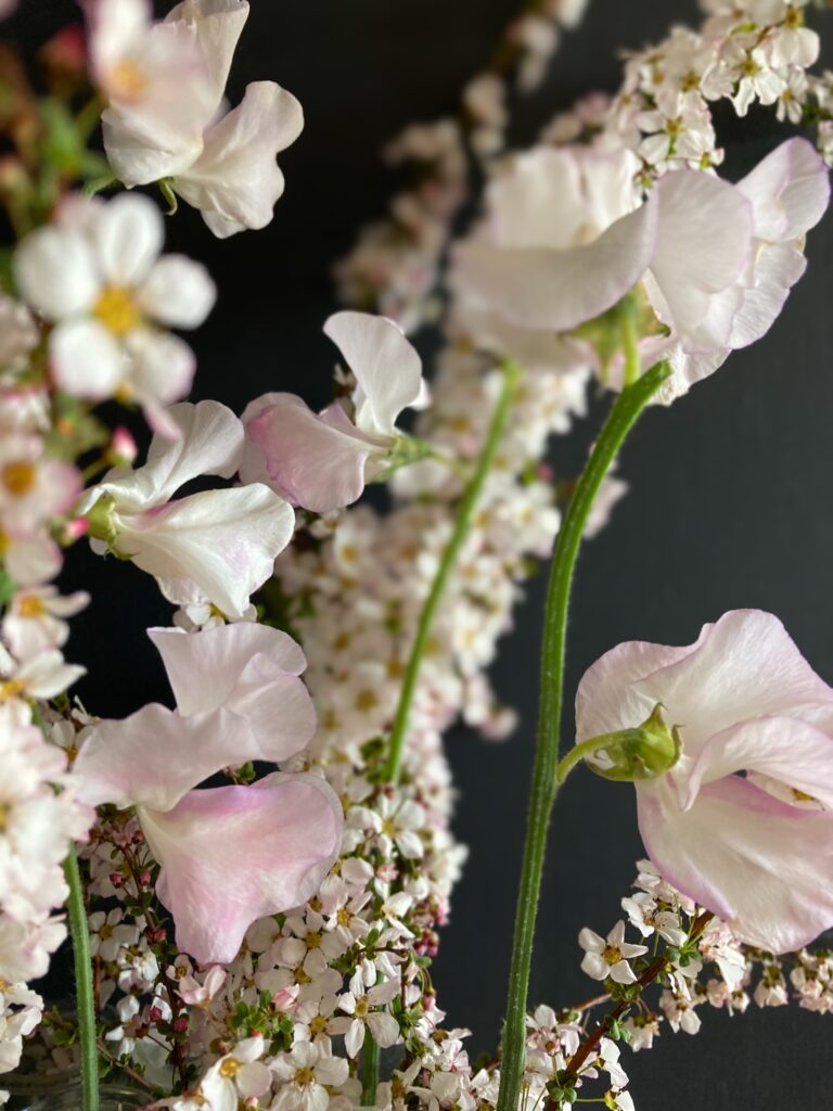 桜色になったスイートピー