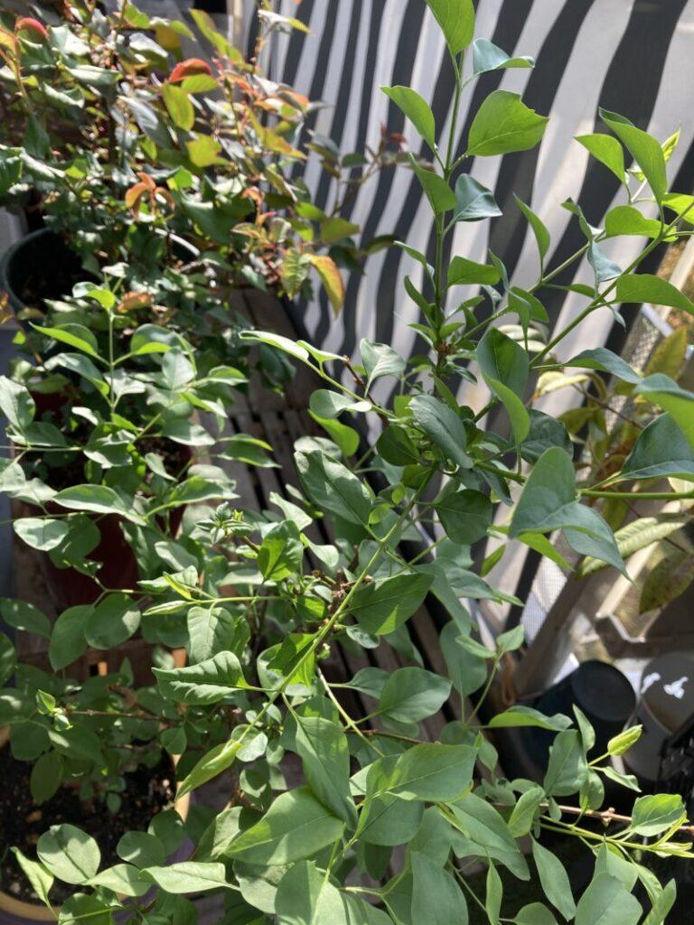 ベランダガーデニングでライラック とバラ栽培