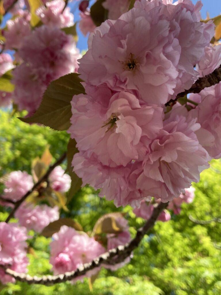 八重桜とあおもみじ