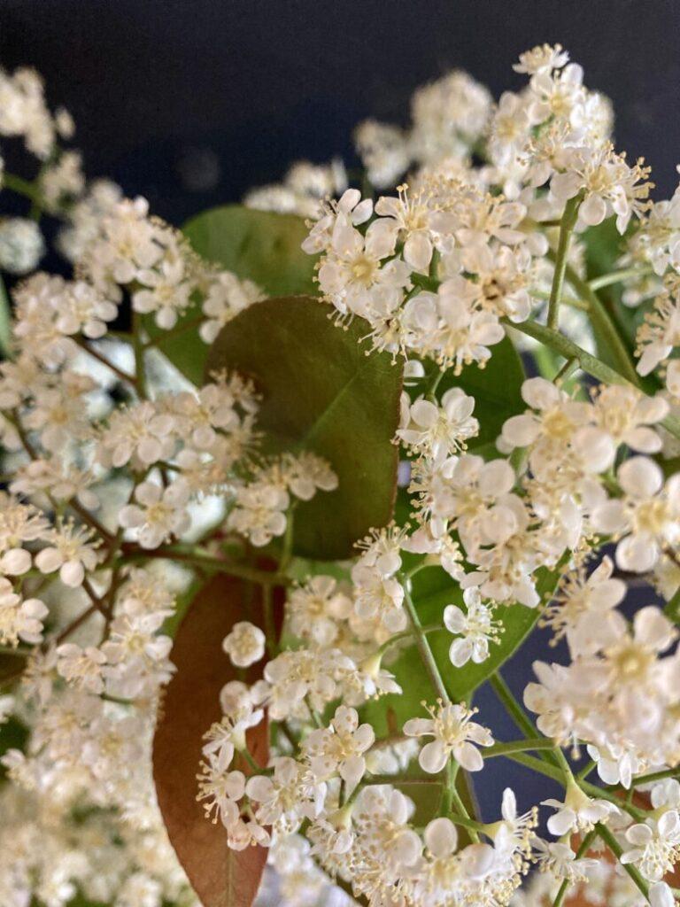 レッドロビンの花のアップ