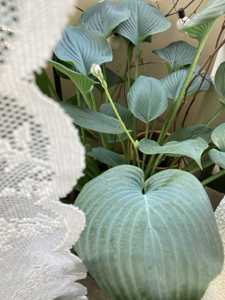 ベランダシェードガーデンのホスタの花