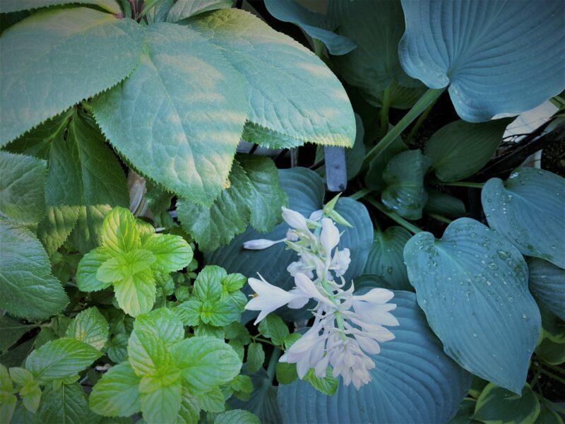 団地のベランダシェードガーデンに咲くホスタの花